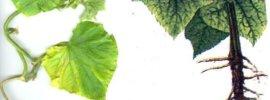 Вредители и болезни огурцов в теплице